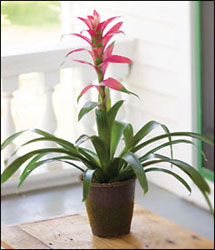 Bromeliad in Decorative Container from Inglis Florist in Tucson, AZ