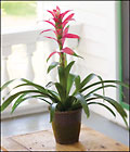 Bromeliad in Decorative Container