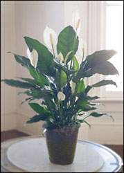 Peace Lily in Decorative Container from Inglis Florist in Tucson, AZ