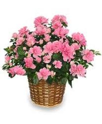 Azalea Special<br>Inglis Florists from Inglis Florist in Tucson, AZ