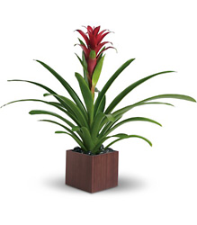 Teleflora's Bromeliad Beauty from Inglis Florist in Tucson, AZ