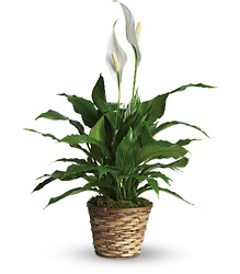 Simply Elegant Spathiphyllum - Small from Inglis Florist in Tucson, AZ
