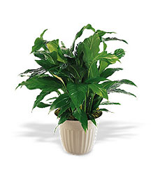 Spathiphyllum Plant from Inglis Florist in Tucson, AZ