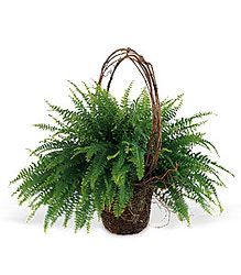 Faithful Fern from Inglis Florist in Tucson, AZ
